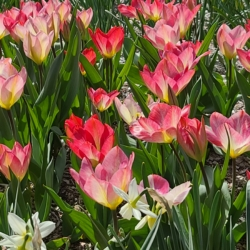 These tulips represent the love and support ❤ from many who will always care Lynn Valley.